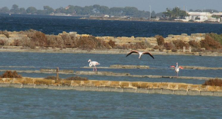 Wir staunen, Flamingos in den antiken Salinen bei Marsala