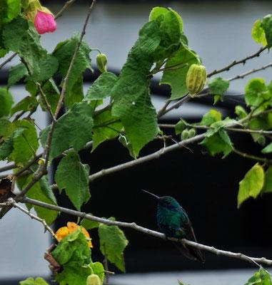 Kolibris gibt es auch hier auf 2500 m.ü.M