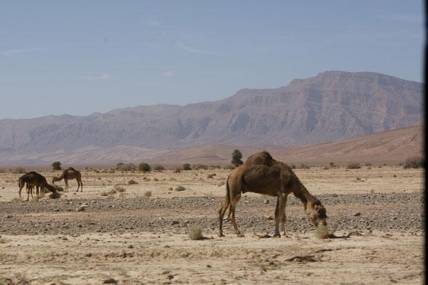 Wir sind wieder im Freien. Nicht nur die Landschaft ändert ihr Gesicht, nein auch Kamele kreuzen wieder unseren Weg