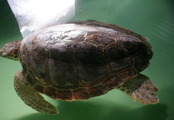 Verwundete Riesenschildkröte