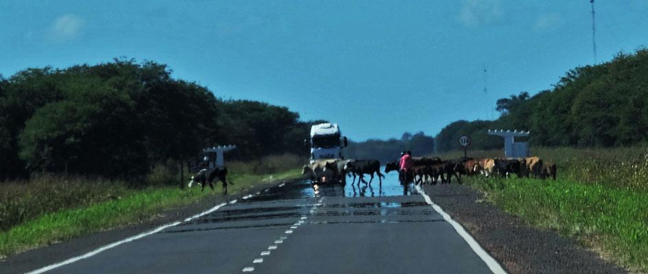 Es heisst halten für die Rinder, die selbstständig unterwegs sind.