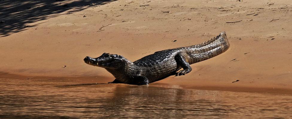 Statt Jaguare sind es Krokos auf den Sandbänken
