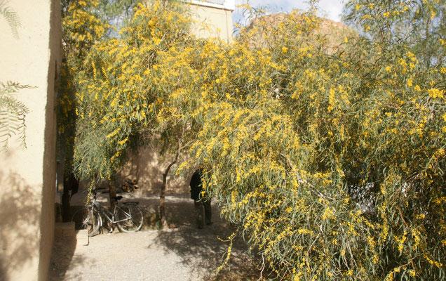 Die Mimosen vor dem Eingang zum Restaurant blühen