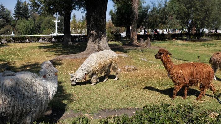 Mitten in Arequipa Lamas