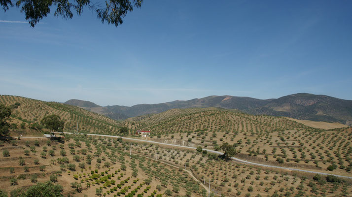 Hügelig und Oliven soweit das Auge reicht.
