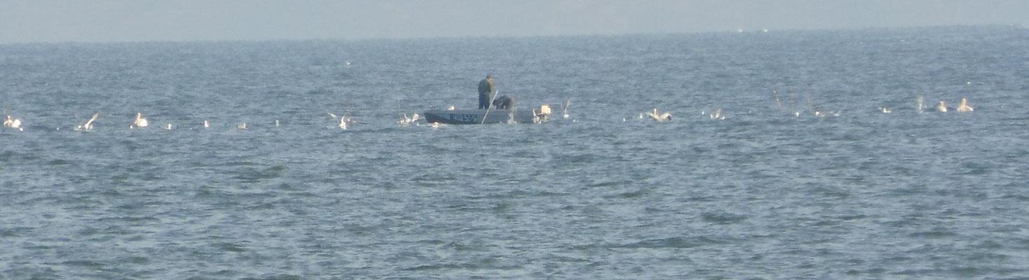 Pelikane belagern die Fischer
