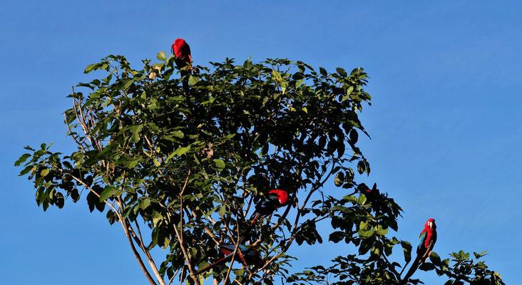 Die Aras spielen auf den Bäumen