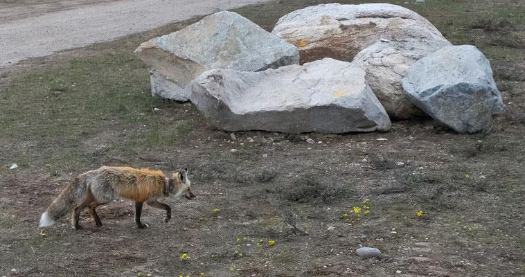 uns ein Kojote besuchen