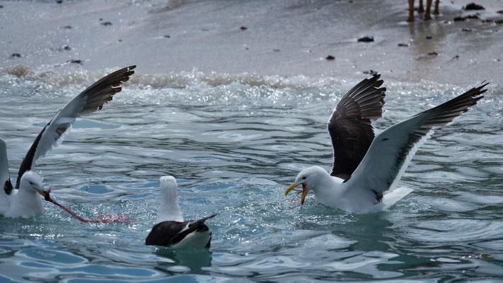 ... die sich um die Fischabfälle streitenden Möwen