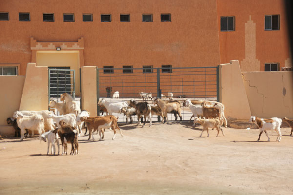 Die Ziegen öffnen selbstständig das Tor. Wollen sie nun raus oder rein?
