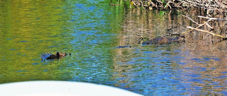 Immer mal wieder gleitet ein Krokodil an uns vorbei, dass dann lautlos im Wasser untertaucht. Wo taucht es wohl wieder auf?