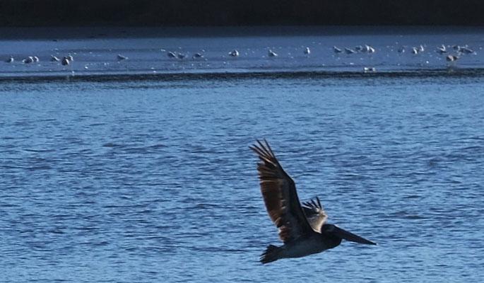 Pelikane tummeln sich auch im Fjiord