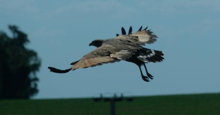 ein Adler