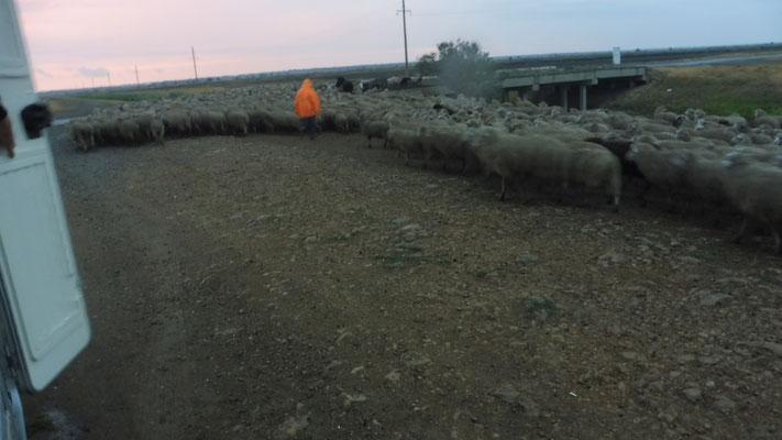... Die Schafherde ist erstaunt über das unbekannte Objekt auf ihrem Nachhauseweg