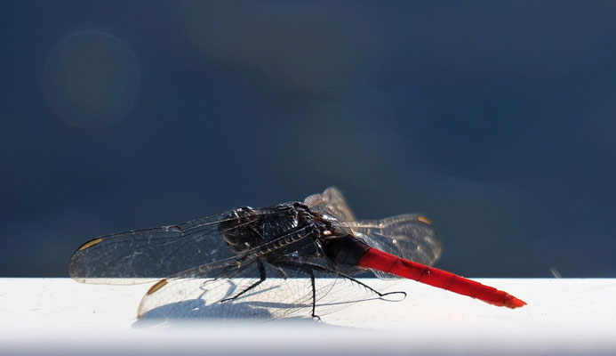 Libelle mit rotem Hinterteil