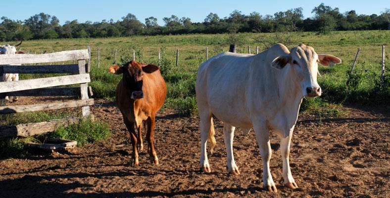 Bei der Weide angekommen, traben seine Rinder von ganz hinten zur Begrüssung daher.