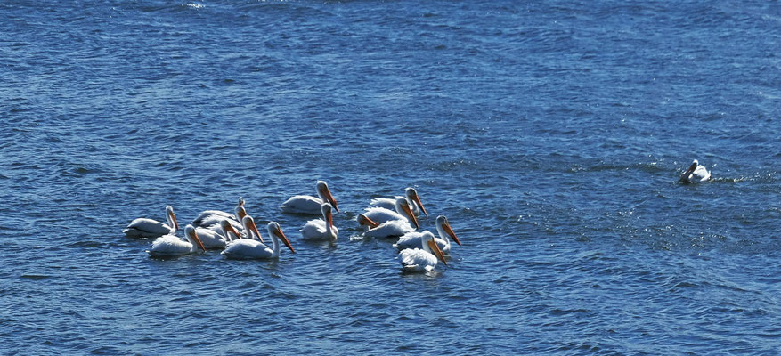 Wieder Pelikane im Missouri River