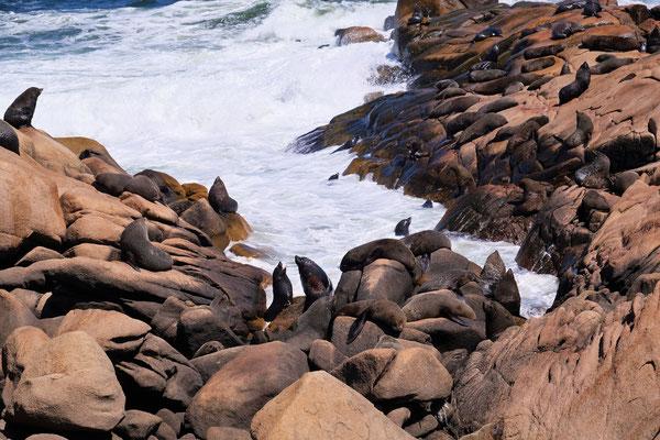 Erstaunlich wie die Seelöwen es aus dem tosenden Wasser auf die Felsen schaffen.