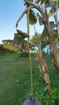wachsen uns die Bananen in den Mund