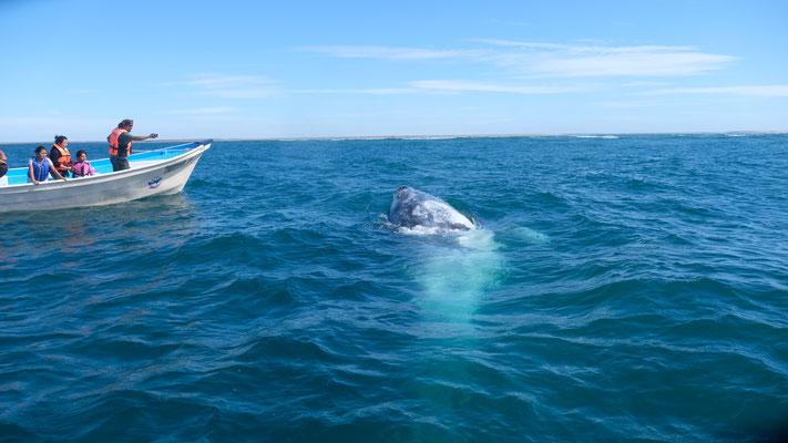 .... wir mitten unter den Grauwalen.