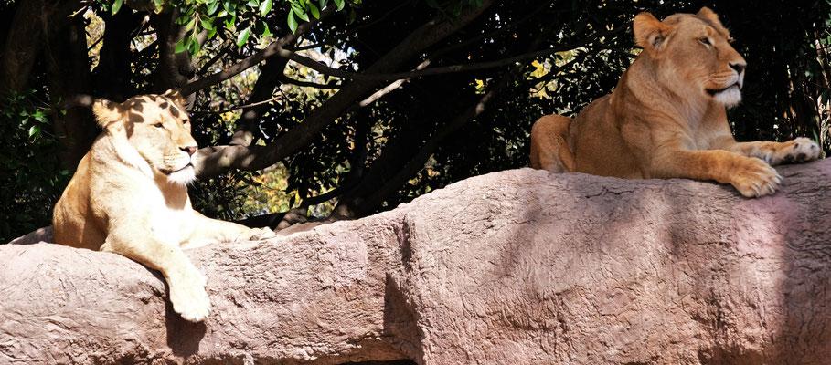 .... und wir können die Löwinnen..,...