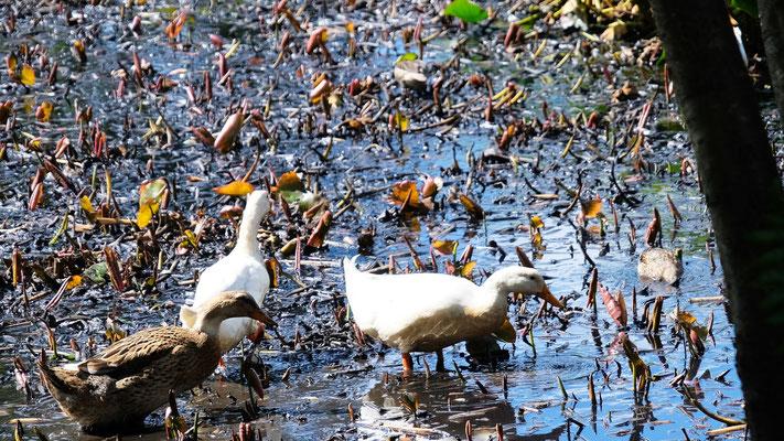 Die Enten lassen sich nicht von den Menschenmassen beeindrucken