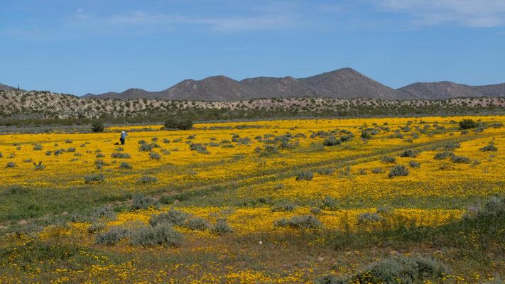 Wie auf einer Alm, aber tatsächlich sind wir in der Wüste der Baja California