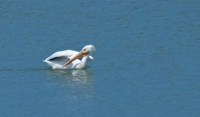 Wo kommt denn der Pelikan her?