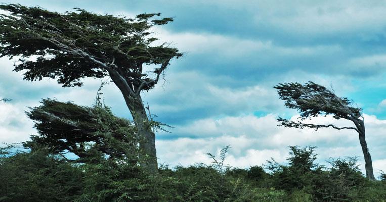 Bäume mit Sturmfrisuren. Man weiss woher der Wind zumeist bläst, wenn er es dann tut.