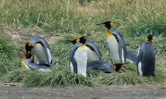 der grössten Pinguin Art