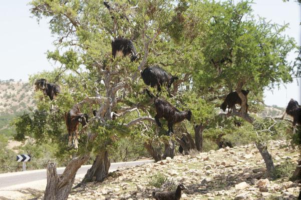 Nochmals Ziegen auf den Bäumen.