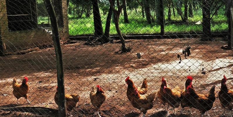 Die Hühner liefern die Eier