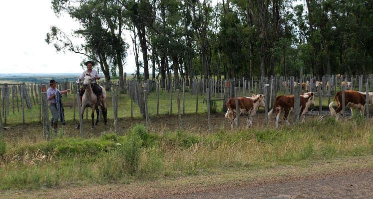 Die Reitkünstler bei der Arbei. Gauchos im Hinterland  von Urugay