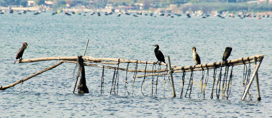 Die Kormorane am Lago Varano