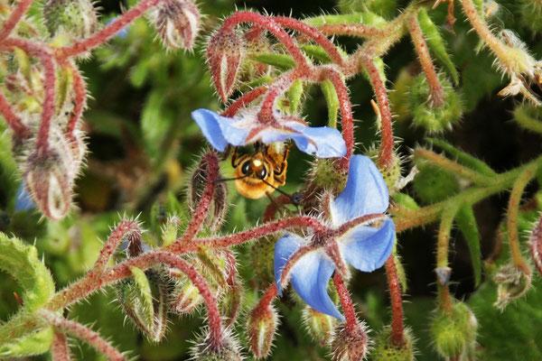 Bienen bereits fleissig am Werk