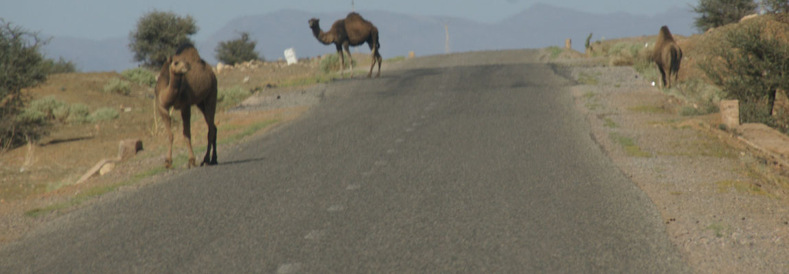 Immer wieder Begegnung mit Kamelen auf dem Weg zum Kraterberg