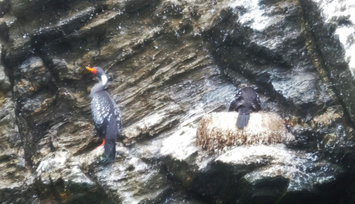 Die seltenen Chile Kormorane mit ihrer schönen Farbe
