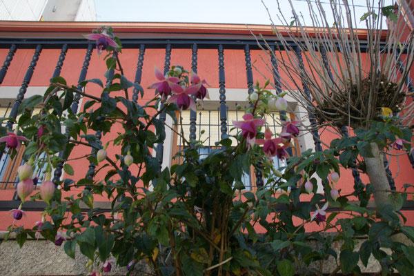 Blühende Fuchsien an der Strasse