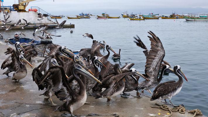 .... kommen den Pelikanen und ....