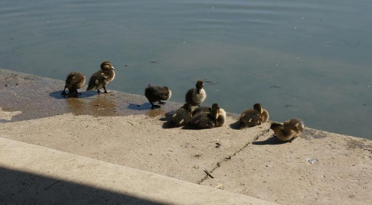 Dann sind wir und die Entenbabys wieder allein