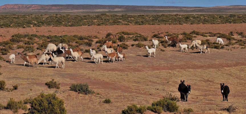 Lamas und Maultiere in Eintracht beieinander