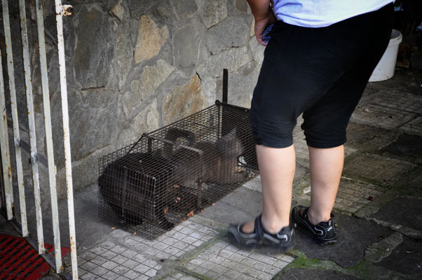 Две котки, заловени в хуманен капан.
