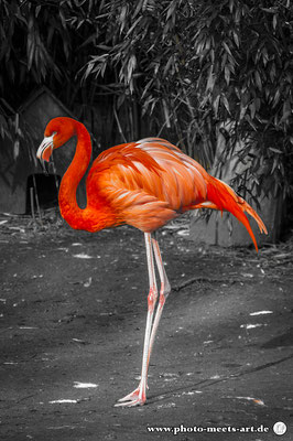 #flamingo #flamingos #pinkflamingo #prettyinpink #zoo #zooduisburg #animalphotography #wildlife #wildlifephotography #wildlifephoto #ivanofargnoli #photo_meets_art #photography #rommerskirchen