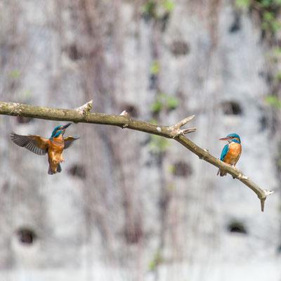 Eisvogel, SVS-Naturschutzzentrum La Sauge