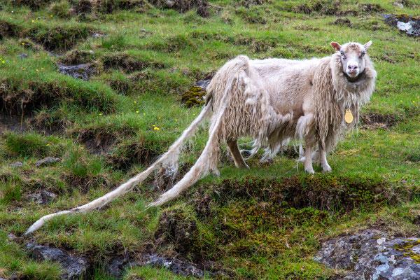 Die Schafe werden nicht mehr geschoren und verlieren ihr Winterkleid