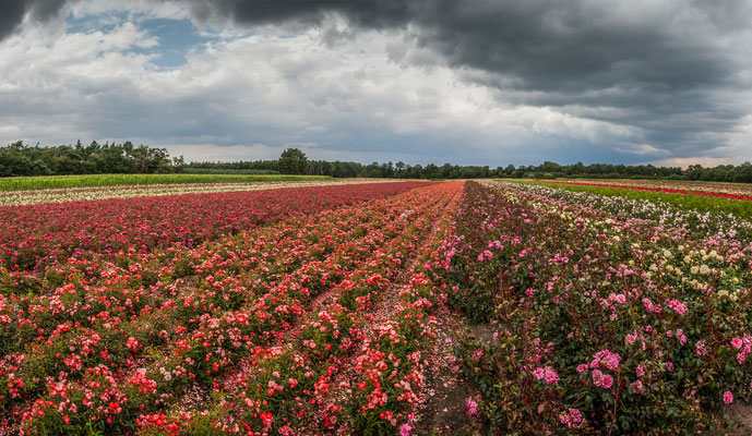 Rosen in Holland