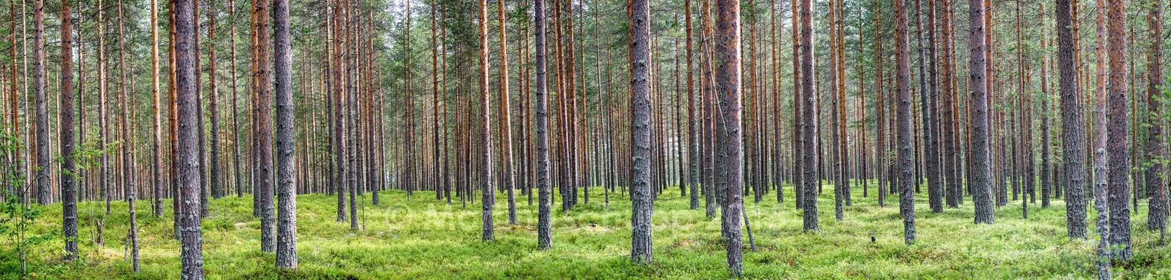 Kiefernwald Finnland