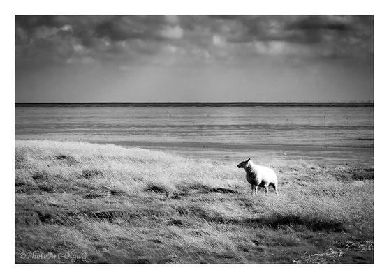 "#0024 "" The sheep"" (National Park Vadehavet, St.Darum, DK, 2018 ) Ltd of 25"