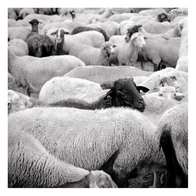 """#0015 """" The One-Sheep (Castelluccio di Norcia, IT, 2018) Ltd of 10"""