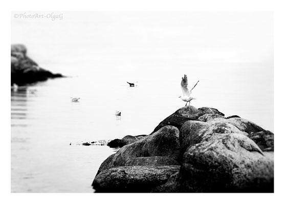 "#0025 ""Seagull"" ( Fredericia, DK, 2017) Ltd of 25"